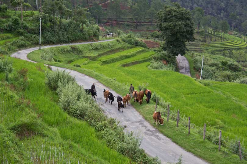 Cows grazing along the road that runs through the middle of rice fields in the village of Nobgang, Punakha, Bhutan