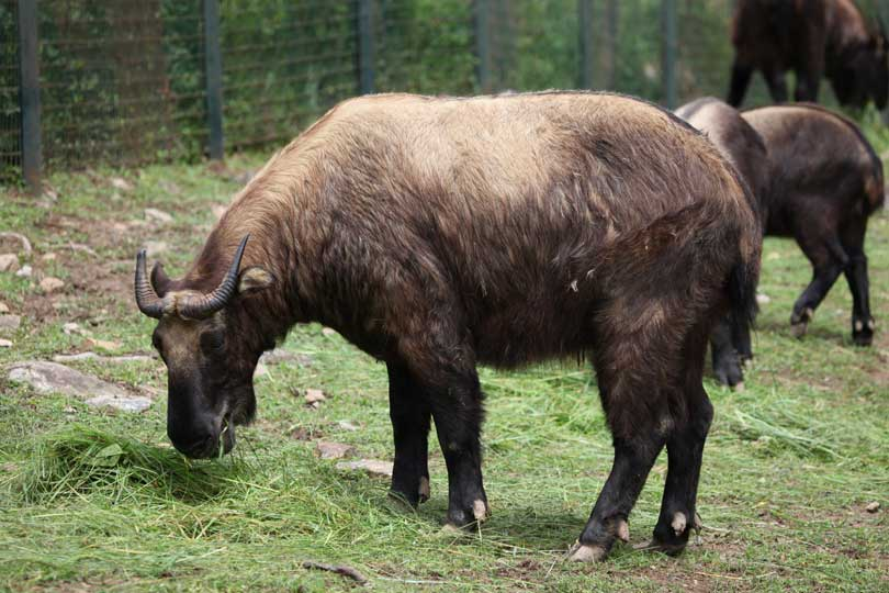 Takin, the National Animal of Bhutan