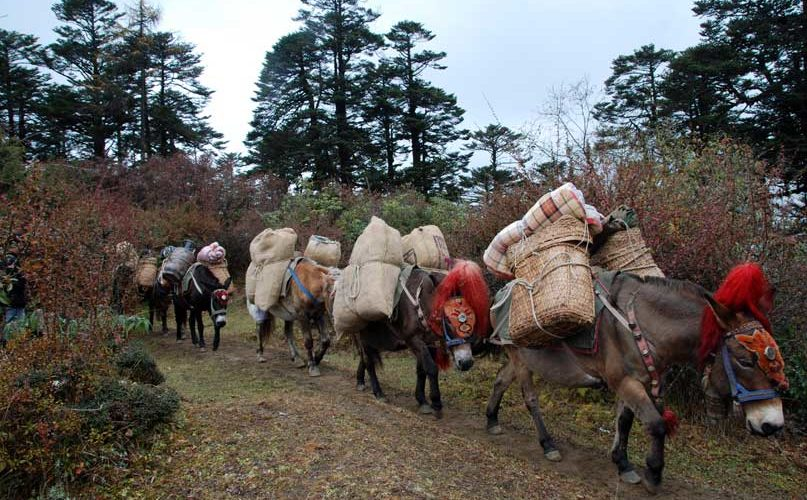 Pack animals carrying food supplies and tents - Druk Path Trek Bhutan