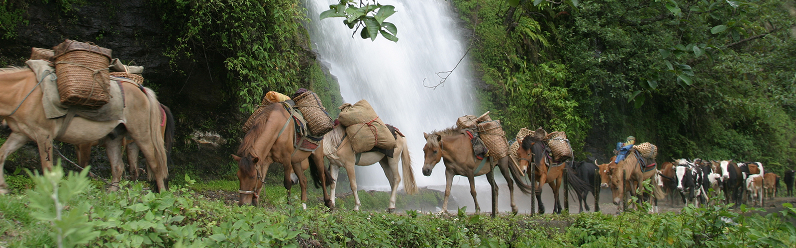 Pack horses transporting trekking equipments and supplies