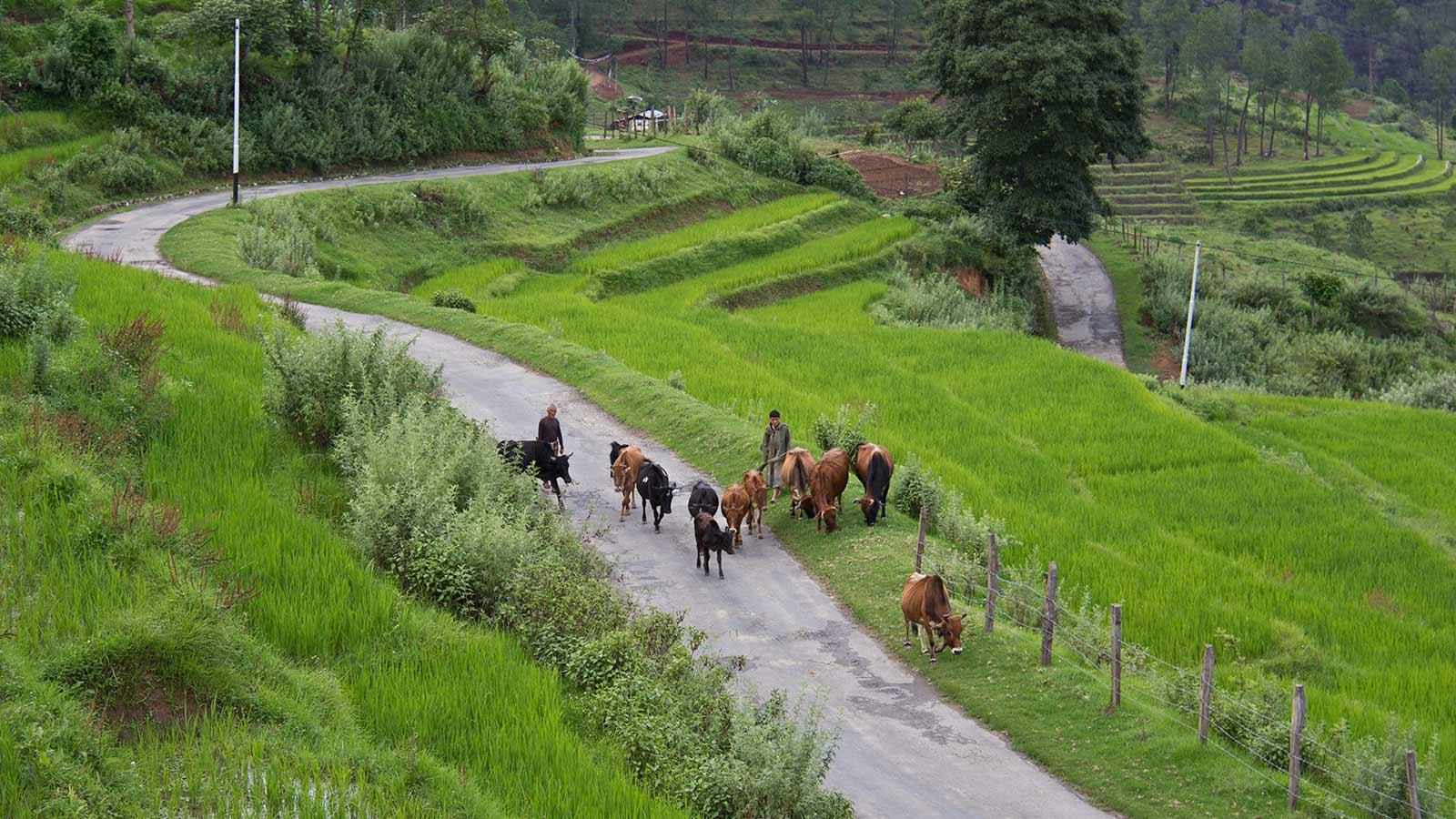 Cow herding in Nobgang, Punakha valley