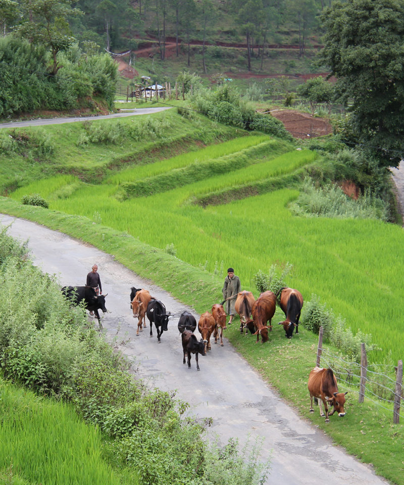 Nobgang Rice Fields with Cows