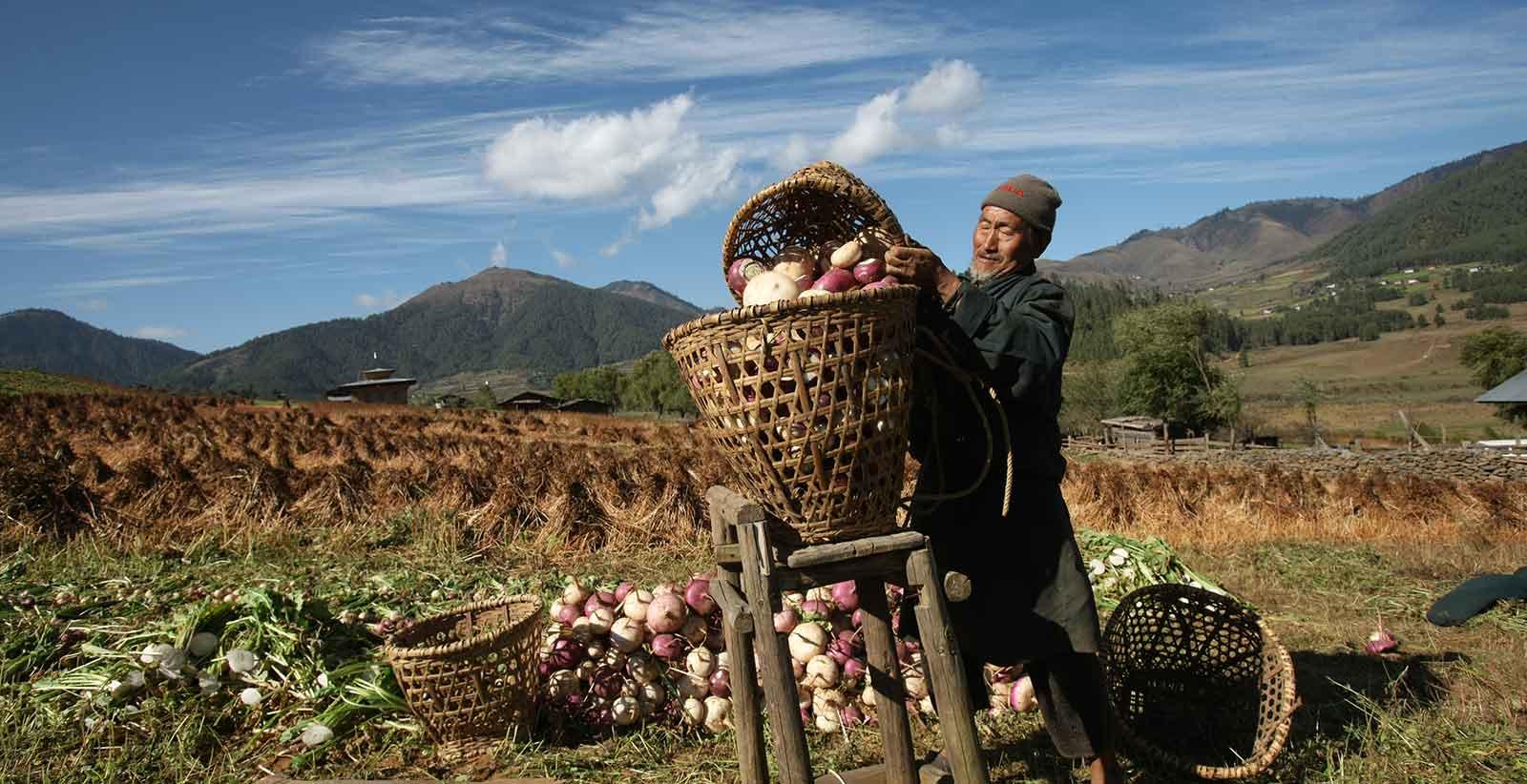 Farmer Harvesting Turnip in Phobjikha Valley