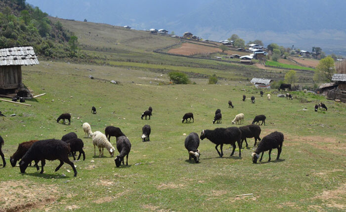Sheep in Bumthang Valley