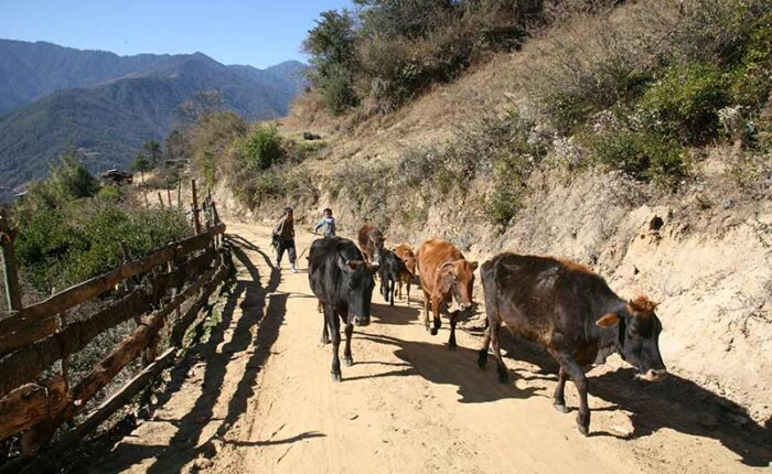 Cow herding in central Bhutan